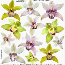 Sospeso transparente prediseñado Star Orchid 23x23 cm